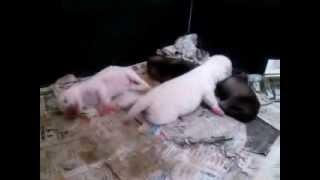 親達が巣を離れた隙の撮影です。 母や乳母は仔犬らが寝ている間に水分補...