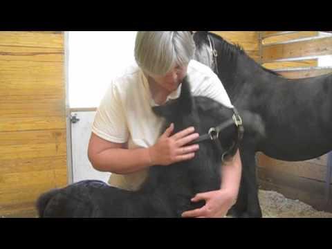 Friesian foal Mark (Mintse x Thomas) at 4 days old