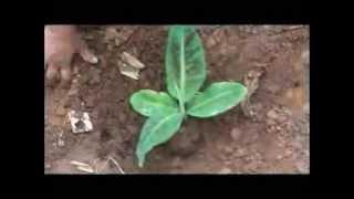 Banana cultivation Kannada BAIF Karnataka