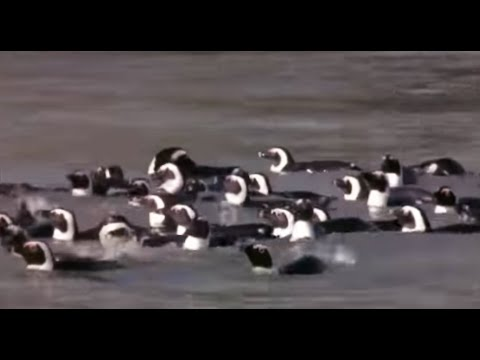 African Penguins go for a swim - Mountain of the Sea - BBC
