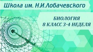 Биология 8 класс 3-4 неделя Этапы становления человека.