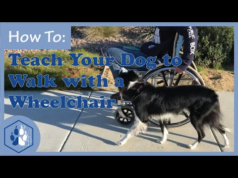 Teach Your Dog to Walk with a Wheelchair / Service Dog Training