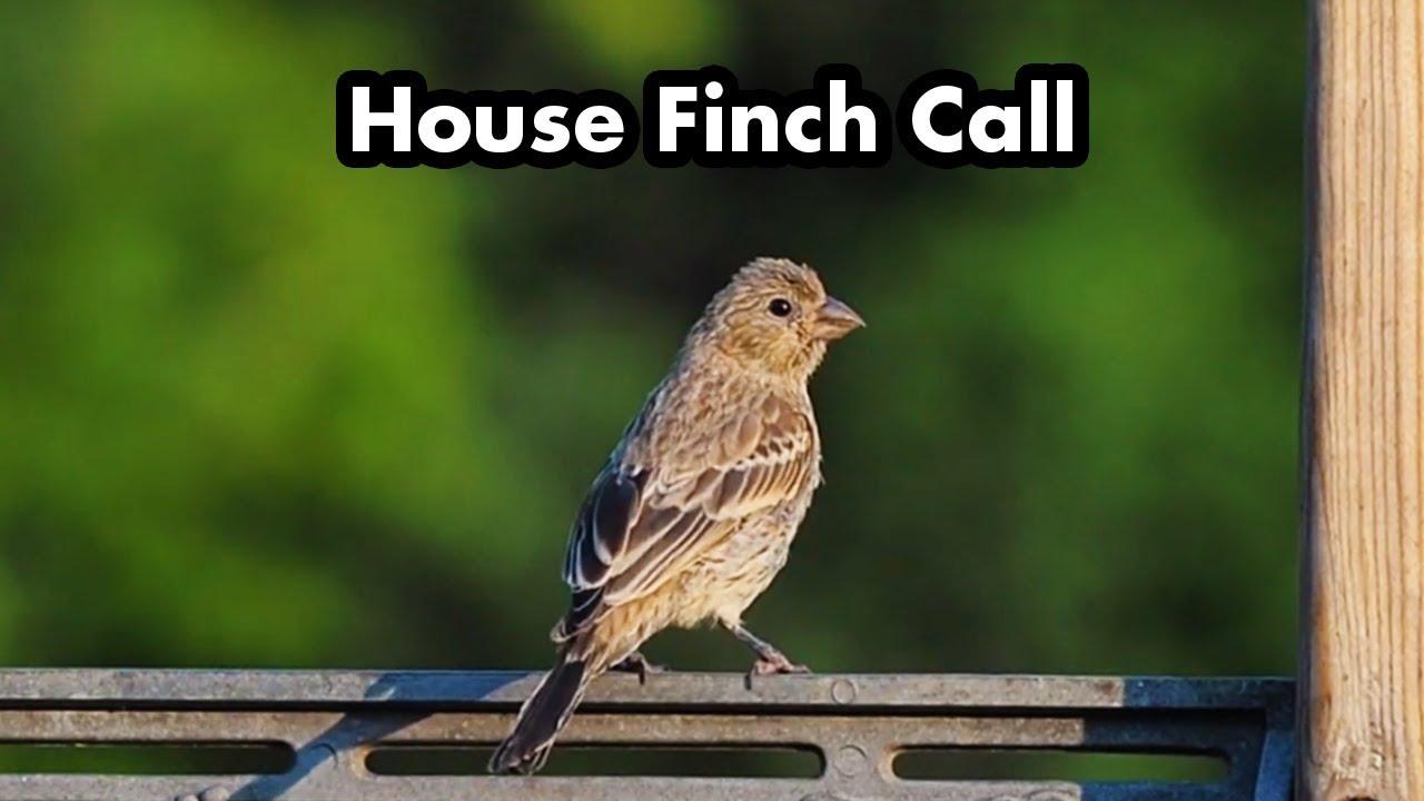 Female House Finch Call - Bird Sounds - YouTube