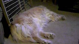 Sleep Dancing Golden Retriever