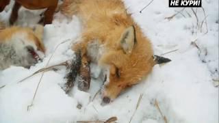 Охота на лис с норными с ягдтерьером,таксой