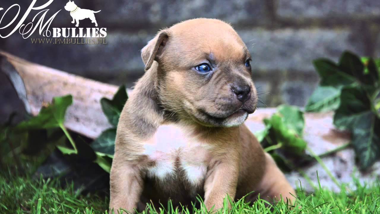 Pmbullies American Bully Pocket Puppies 4 Weeks Youtube