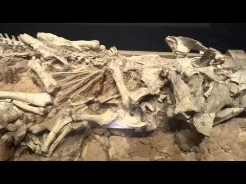 バガケラトプス Bagaceratops rozhdestvenskyi:「大恐竜展」ゴビ砂漠の驚異