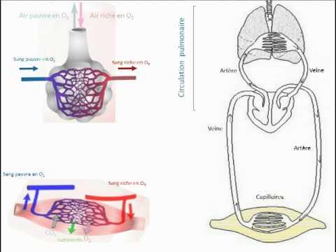Organisation de la circulation sanguine