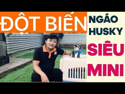 Ngáo Husky đột biến siêu mini…Nguyễn Thành giới thiệu bé Husky siêu mini