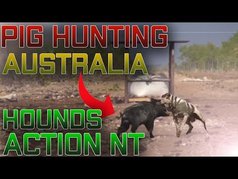 Pig Hunting Australia Hunting, Hounds Action NT
