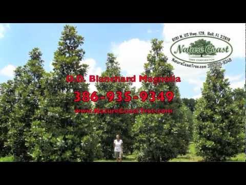 Dd Blanchard Magnolia Grandiflora Bell Fl 32619 Nature Coast Tree
