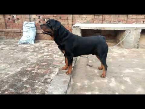 Rottweiller for sale in delhi 9999039993, security dog for sale in delhi,  guard dogs sale in india