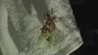 セミの幼虫が羽化するまでを撮影しました。8倍速で編集してあります。 ▽...