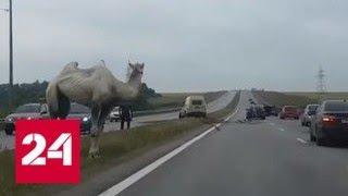 Верблюд спровоцировал ДТП с инкассаторской машиной на тульской трассе - Россия 24
