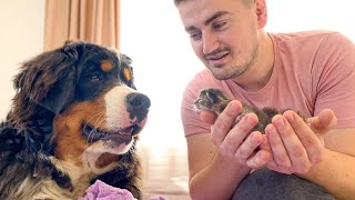 Bernese Mountain Dog Meets Newborn Kittens for the First Time!