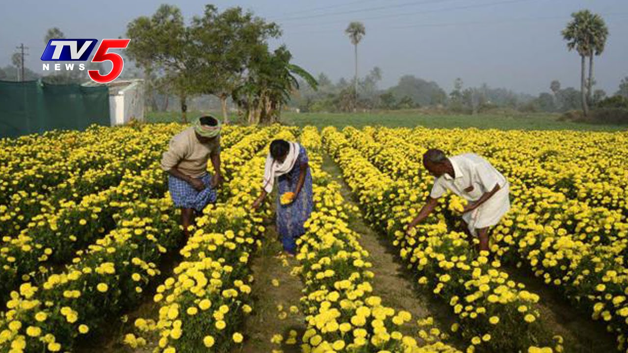 Marigold Flower And Chapata Mirchi Cultivation Annapurna