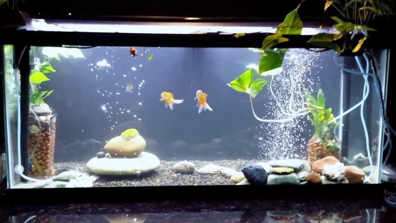 Goldfish Tank 75 Gallon with aquaponics   YouTube