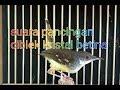 Suara Khas Ciblek Kristal Dan Cisem Betina  Mp3 - Mp4 Download