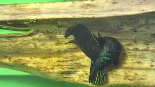 ปลากัดป่ามหาชัย (ฺำBetta mahachaiensis)