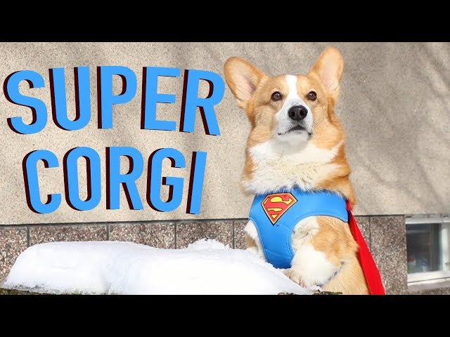 IF DOGS HAD SUPERPOWERS - Topi the Corgi