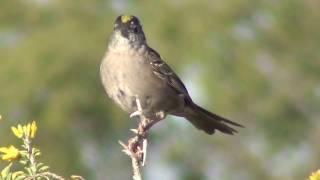 North American Wildlife --- Golden-Crowned Sparrow