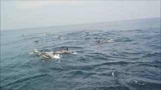 イルカの大群 動画提供 ルアー船「シーラビット」さま.
