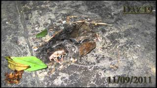 Mouse body decompose - Canon A495 Time lapse