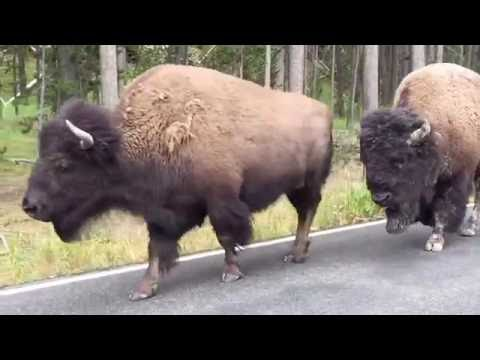 Yellowstone Bison walking by