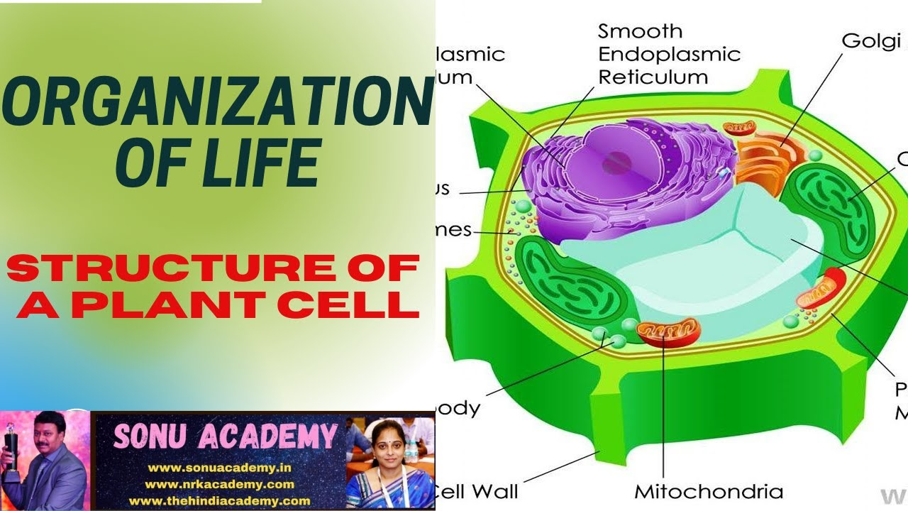 STRUCTURE OF A PLANT CELL - YouTube