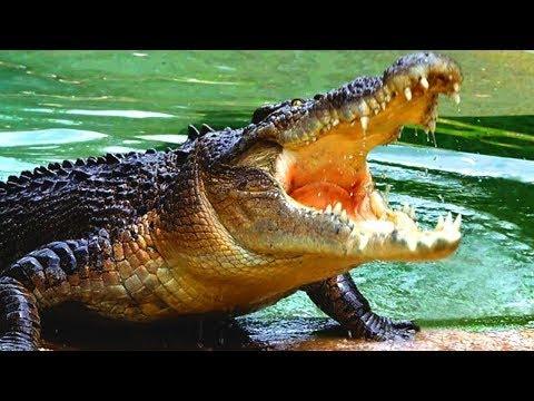 salt water crocodile(wild documentary} - nat geo