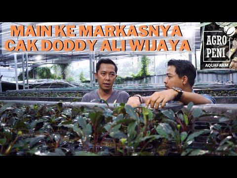 kupas-tuntas-farm-bucephalandra-milik-cak-doddy-ali-wijaya!!!
