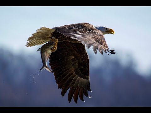 Photographing Bald Eagles At The Conowingo Dam And Other Raptors In Connecticut.