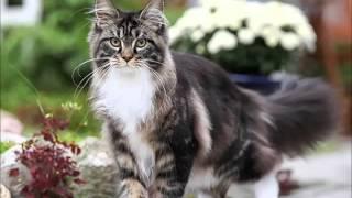 Топ-10 самых популярных пород кошек в России