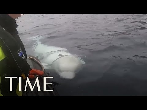 Norwegian Officials Are Worried This Beluga Whale Escaped From The Russian Military | TIME