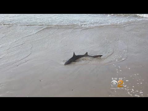 Shark Sighting In Coney Island
