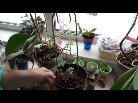 Колокольчик карпатский выращивание из семян Посадка и