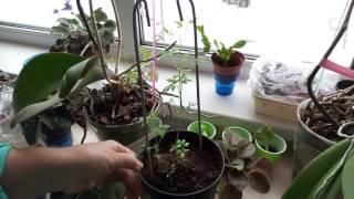 ПОСАДКА КЛЕМАТИСА СЕМЕНАМИ –  выращивание клематиса из семян - первые результаты  от Нины Петруши