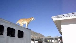 High Flying Tiger Jump