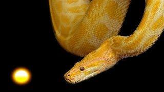 SOÑAR CON CULEBRAS - Significado de los Sueños | Interpretar Sueños, Serpientes o Víboras