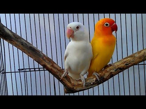 Cute Birds Albino Lutino Fischer S Lovebird Youtube