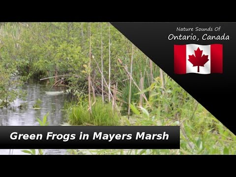 Green Frogs in Mayers Marsh - Nature Sounds - Wildlife, Rain, Red-Winged Black Birds, Songbirds