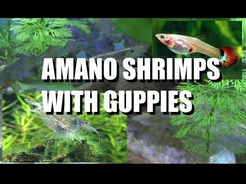 Amano Shrimps enjoying their dinner with their tankmates