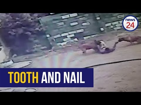 Bodhi - Thief Caught By Two Dogs While Trying To Run Away (Video)