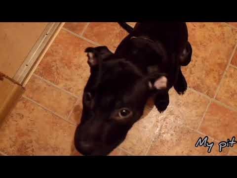 Купирование ушей питбулю/Cupping pitbull ears