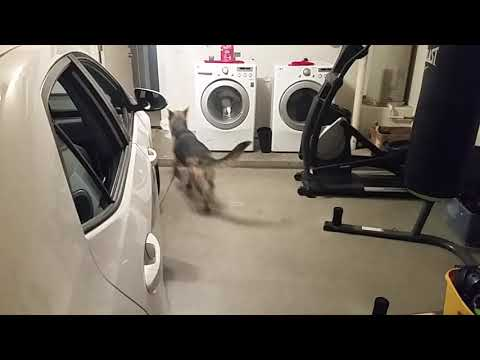 German Shepherd help the owner with the shopping bags