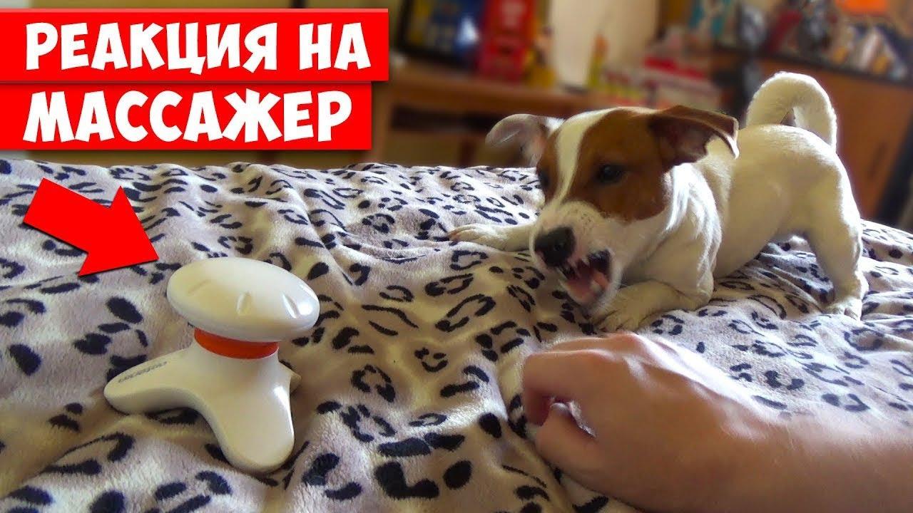 Собака на массажере авито массажер цептер
