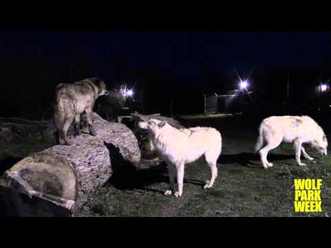 Howl Night at Wolf Park- March 19, 2016