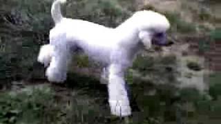 German T Trim ~ Standard Poodle