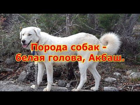 Порода собак - белая голова Акбаш