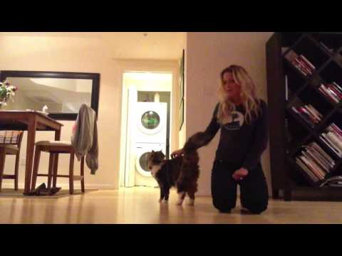 Smart Maine Coon Doing Dog Tricks